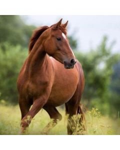 Hest pude